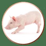 wieprzowina / pork